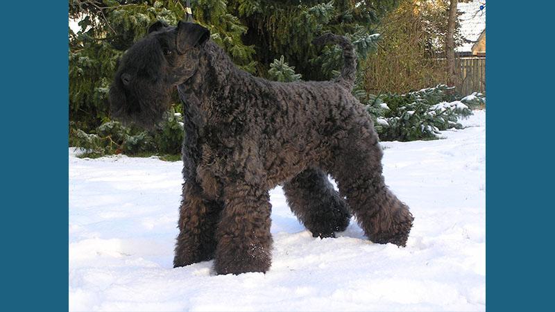 Kerry Blue Terrier 3