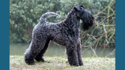 Kerry Blue Terrier 4