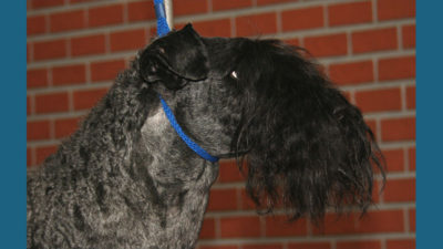Kerry Blue Terrier 5