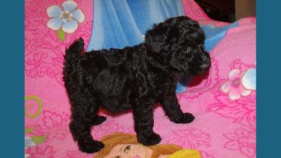 Kerry Blue Terrier 6