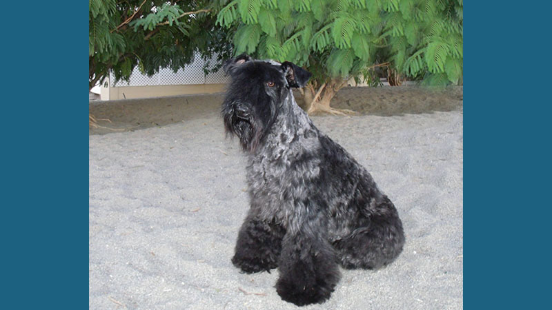 Kerry Blue Terrier 7