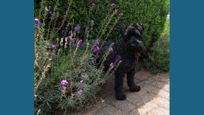 Kerry Blue Terrier 8