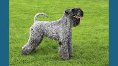 Kerry Blue Terrier 9