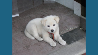 Korean Jindo Dog 1