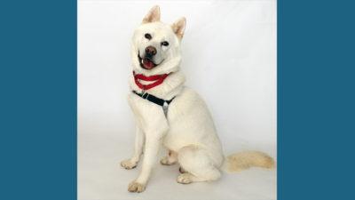 Korean Jindo Dog 4