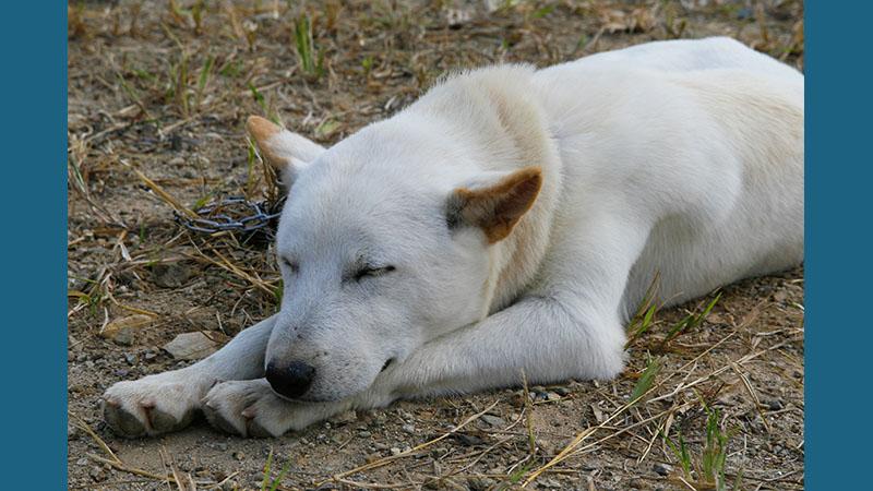 Korean Jindo Dog 6