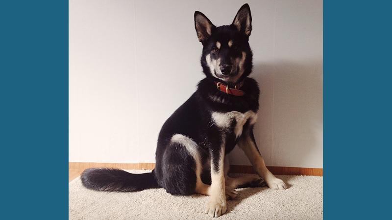 Korean Jindo Dog 7