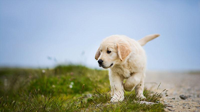 Labrador Retriever 10
