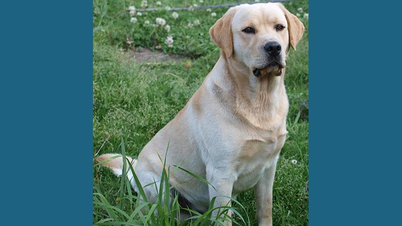 Labrador Retriever 13