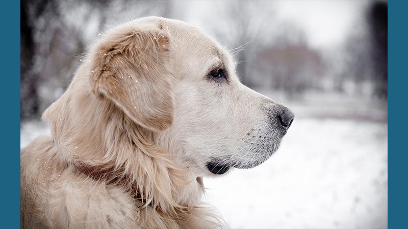 Labrador Retriever 14