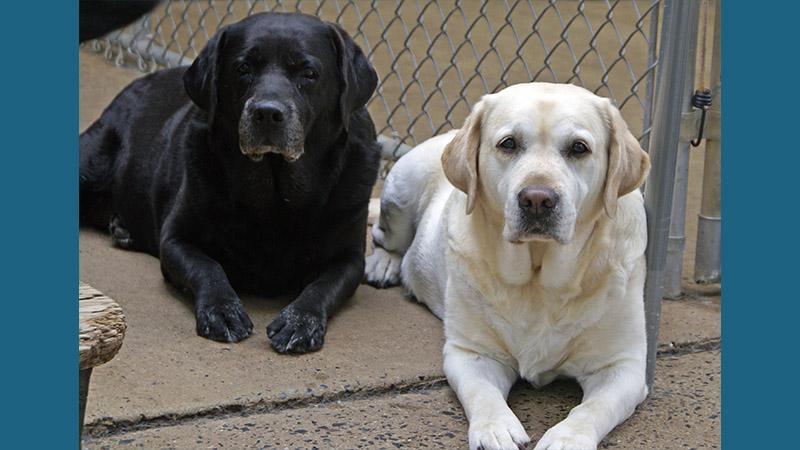 Labrador Retriever 15