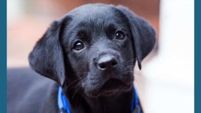Labrador Retriever 16