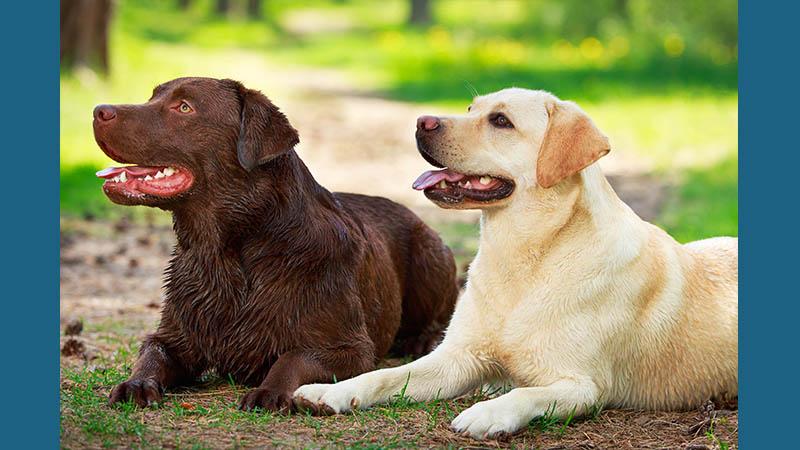 Labrador Retriever 6