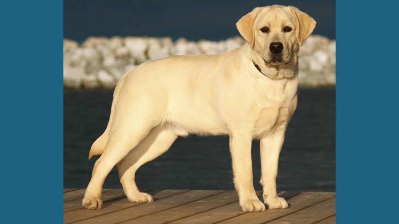 Labrador Retriever 7