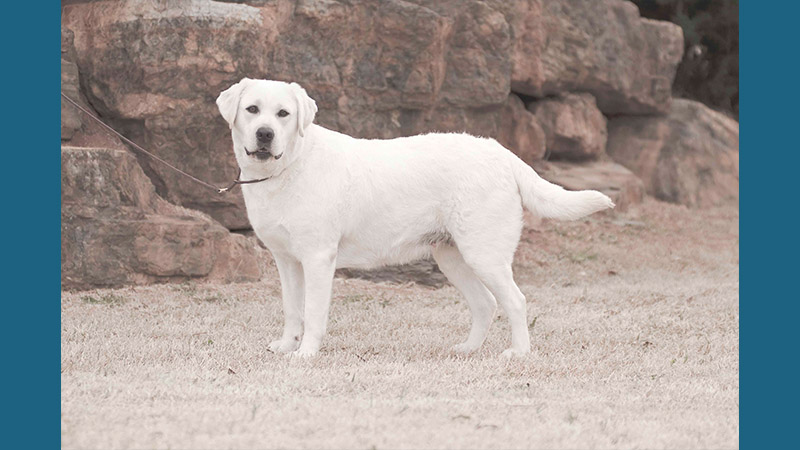 Labrador Retriever 8