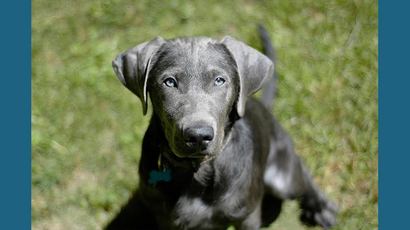 Labrador Retriever 9