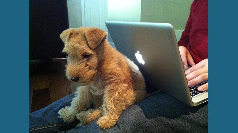 Lakeland Terrier 1