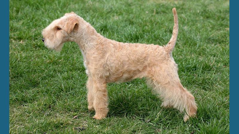 Lakeland Terrier 4