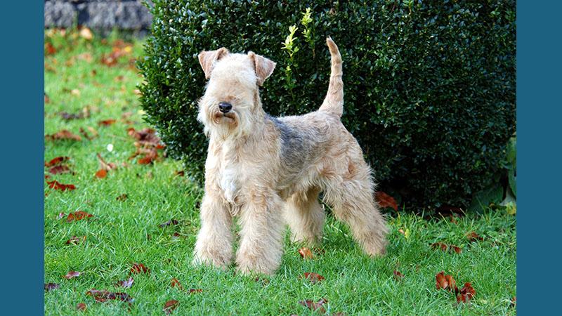 Lakeland Terrier 5