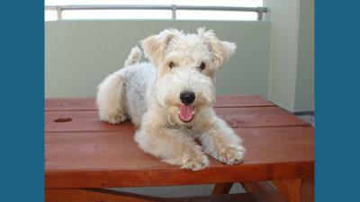 Lakeland Terrier 7
