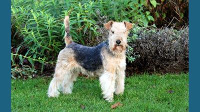 Lakeland Terrier 8