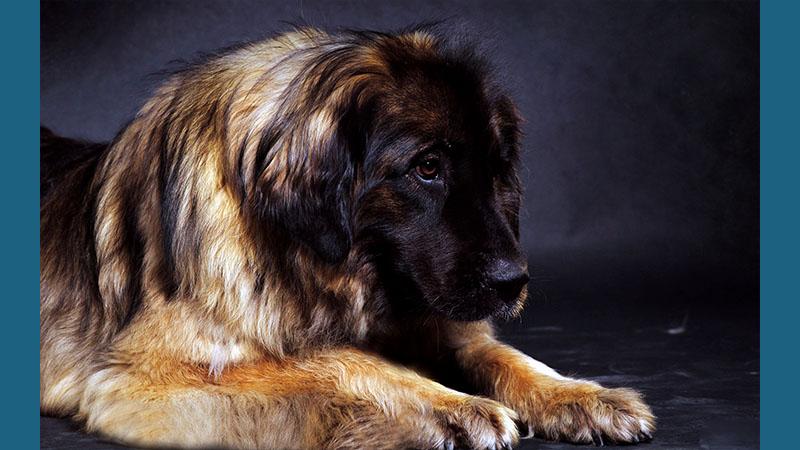 Leonberger 4