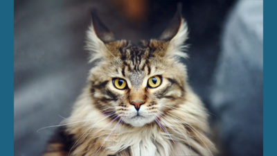 Maine Coon 12