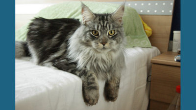 Maine Coon 5