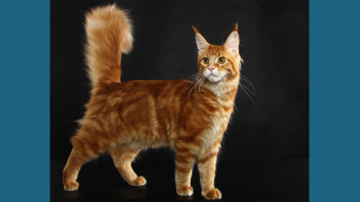 Maine Coon 7