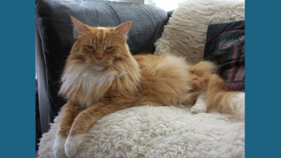 Maine Coon 9