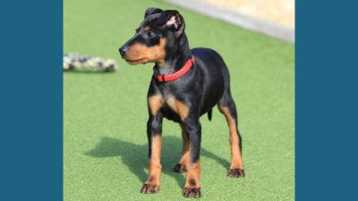Manchester Terrier 1