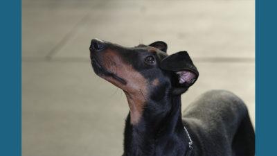 Manchester Terrier 10