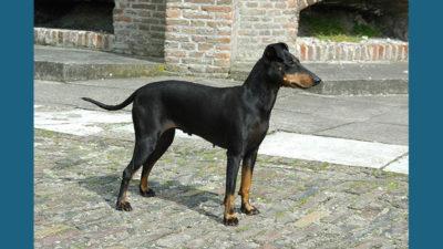 Manchester Terrier 11