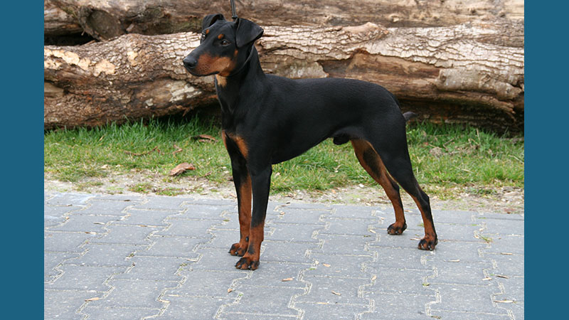 Manchester Terrier 13