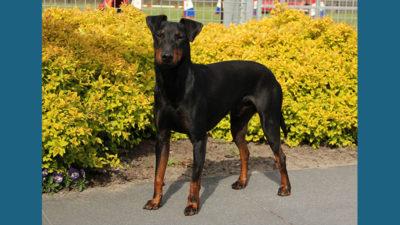 Manchester Terrier 14