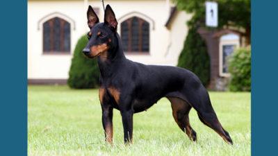 Manchester Terrier 2