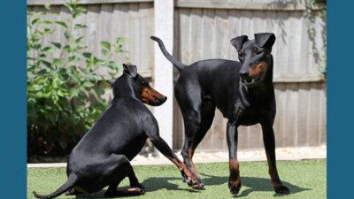 Manchester Terrier 6