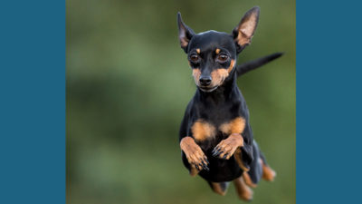 Miniature Pinscher 3