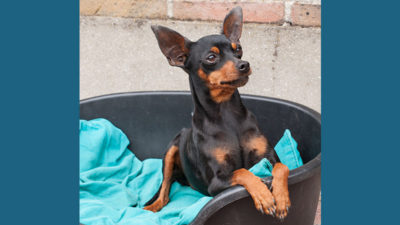 Miniature Pinscher 5