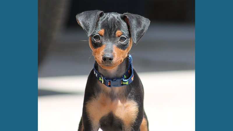 Miniature Pinscher 6