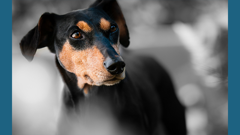 Miniature Pinscher 7