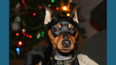 Miniature Pinscher 8
