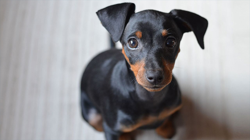 Miniature Pinscher 9