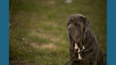 Neapolitan Mastiff 9
