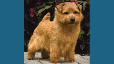 Norfolk Terrier 1