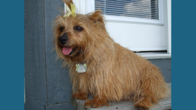 Norfolk Terrier 10