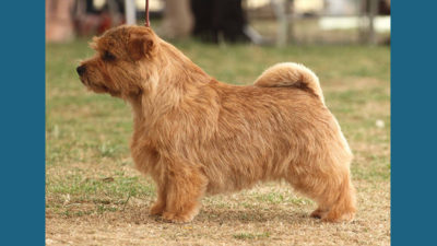 Norfolk Terrier 2