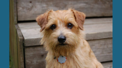 Norfolk Terrier 3
