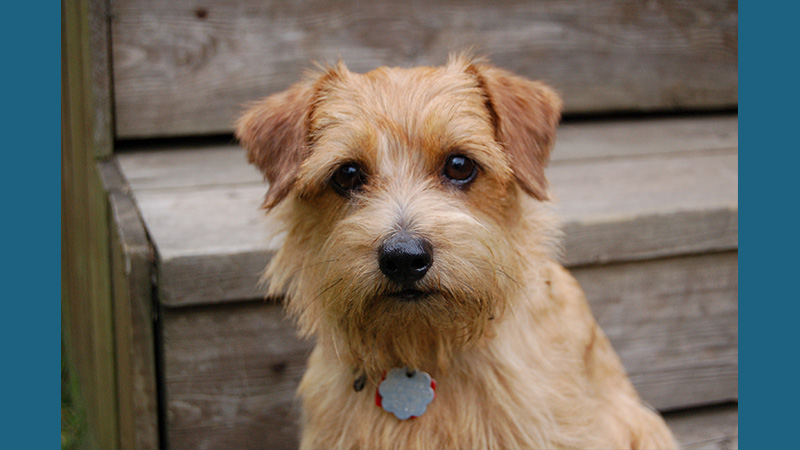 Norfolk Terrier 3
