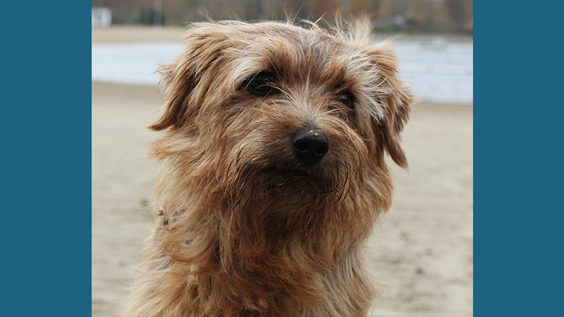Norfolk Terrier 4